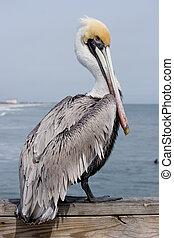 Pelican - Yellow head pelican at a Beach in Florida