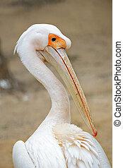 pelicano, atrás de, retrato