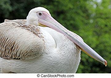 pelicano