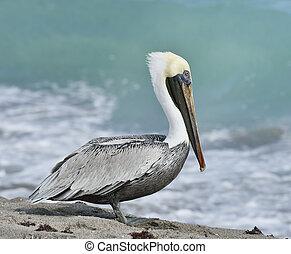 pelicano, marrom