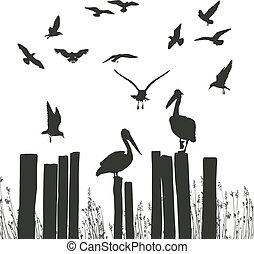 pelicanos, gaivotas