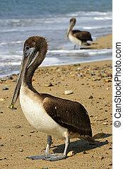 pelicanos, ligado, praia, em, méxico