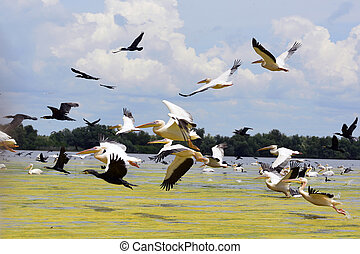 pelicans and cormorans taking off in the Danube Delta, ...