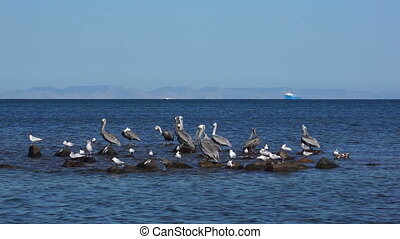 Pelicans and Seagulls On Rocks
