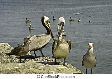 Pelicans and seagulls on the seashore