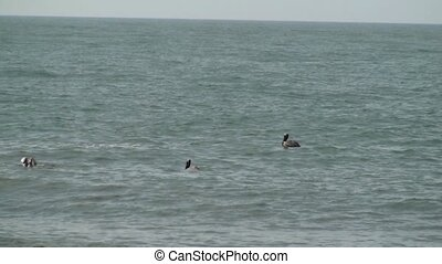 Pelicans diving for food