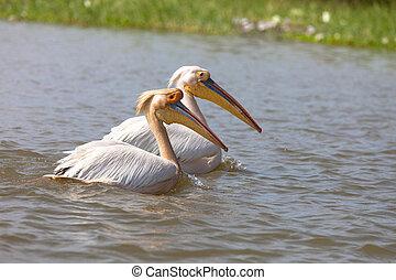 Pelicans, Djoudi national park