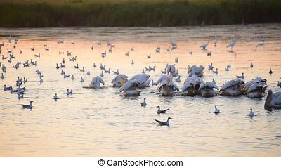 Pelicans, egrets and seagulls on water at dawn