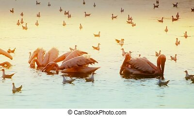 Pelicans fishing and hunting at dawn - Group of pelicans...