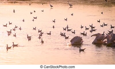Group of pelicans fishing and hunting together in water at dawn with many seagulls around them in summer in natural environment and egrets standing far off in water.