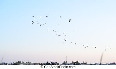 Pelicans fly in the sky in formation - Many great white...
