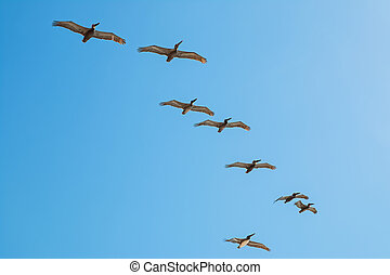 Pelicans flying over blue sky background