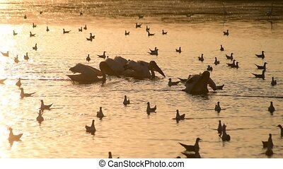 Pelicans forage on water at dawn surrounded by seagulls