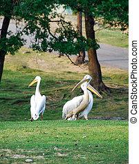 Pelicans in a meadow