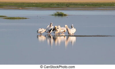 Pelicans in a lake in Amboseli National Park, Kenya. A pair of flamingoes fly past in the background.