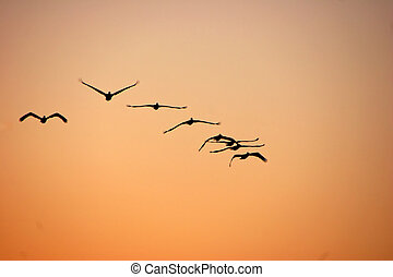 pelicans in flight at sunrise sanibel florida