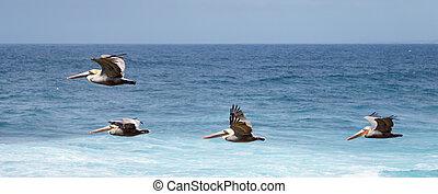 Pelicans In Flight - Pelicans In flight in La Jolla,...