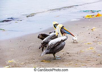 pelicans, képben látható, ballestas, sziget, dél-amerika,...