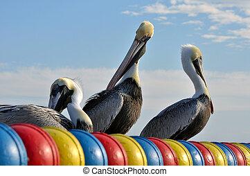 pelicans, képben látható, egy, napos, day.