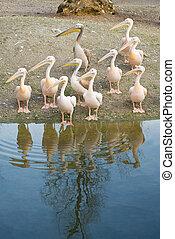 pelicans, mentén, tengerpart