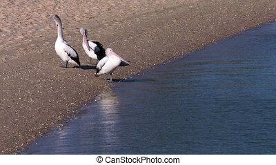 Pelicans on a beach shot
