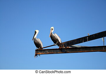 Pelicans on a beam