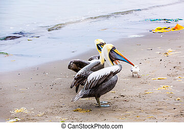 Pelicans on Ballestas Islands, Peru South America in Paracas National park. Flora and fauna