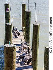 Pelicans on Fishing Pier