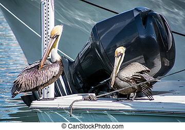pelicans on power boat