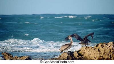 Pelicans on shoreline rocks during sunset on a windy ocean day
