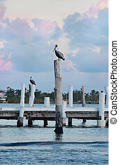 Pelicans on the pier at sunset in Caribbean