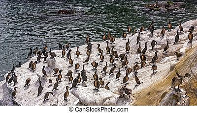 Pelicans on the rocky coastline.
