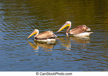 Pelicans on the water - Two pelicans on the water surface