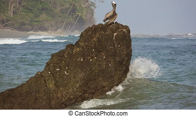 Pelicans over rock while wave breaks, slow-motion - Long...