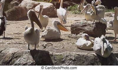 Pelicans Panting to Cool Themselves at a Popular, Public Zoo...