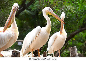 Pelicans - Close up shot of Great white Pelicans