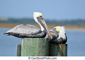 Pelicans perched on pilings along the river's edge at St. Augustine, Florida.