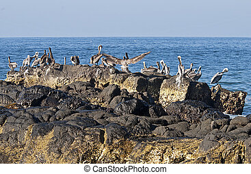 Pelicans resting on a rock by the ocean
