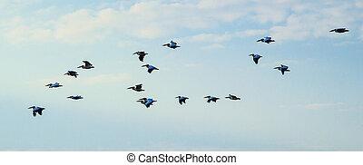 pelicans., sky., pellicani, cielo, gregge, uccelli
