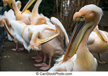 Pelicans standing in line showing their beaks in a zoo - A...