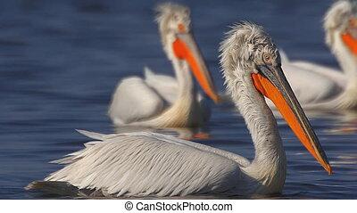 pelicans swim in the lake close-up.