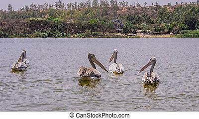 Pelicans swimming in Lake Kuriftu found near Debre Zeit,...