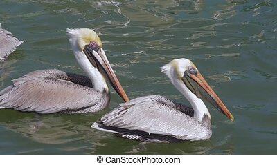 Pelicans waiting for feeding - Two brown pelicans waiting ...