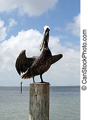 pelikán, állás