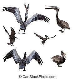 pelikán, állhatatos