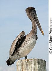 pelikán, corpus christi, usa, tx