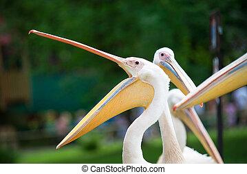 pelikán, csőr, backlit, nyílik, széles