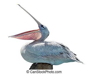 pelikán, elszigetelt