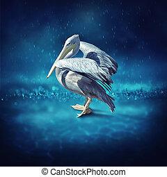pelikán, eső