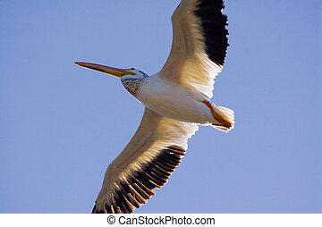 pelikán, menekülés